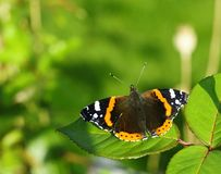 Roter Admiral Butterfly Lizenzfreie Stockbilder