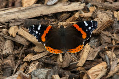 Roter Admiral Butterfly Lizenzfreies Stockfoto