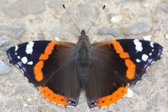 Roter Admiral Butterfly Stockbilder
