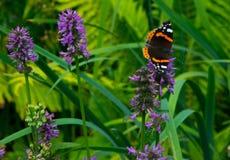 Roter Admiral Butterfly Lizenzfreies Stockbild