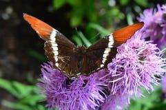 Roter Admiral Butterfly auf der rosa Blume Stockbilder