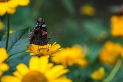 Roter Admiral Butterfly auf falscher Sonnenblume Stockbild