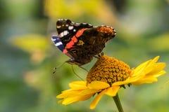 Roter Admiral Butterfly auf falscher Sonnenblume Stockfotografie