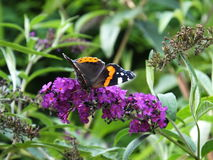 Roter Admiral Butterfly auf Felberich Stockbilder