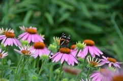 Roter Admiral Butterfly auf rosa Echinaceakegelblume Lizenzfreies Stockbild