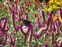 Roter Admiral Butterfly On Flowers stockbilder
