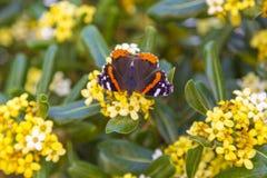 Roter Admiral Butterfly (Vanessa-atalanta) auf einer Wiese, Draufsicht Stockfotos