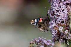 Roter Admiral Butterfly/Vanessa-atalanta, das auf eine rosa Blume einzieht lizenzfreies stockfoto