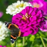 Roter Admiral u. x28; Vanessa-atalanta& x29; Schmetterling auf Zinnia elegans flowe Lizenzfreie Stockbilder