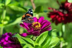 Roter Admiral u. x28; Vanessa-atalanta& x29; Schmetterling auf Zinnia elegans flowe Stockbild