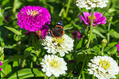 Roter Admiral u. x28; Vanessa-atalanta& x29; Schmetterling auf Zinnia elegans flowe Lizenzfreies Stockfoto