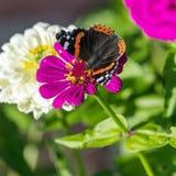 Roter Admiral u. x28; Vanessa-atalanta& x29; Schmetterling auf Zinnia elegans flowe Lizenzfreie Stockfotografie