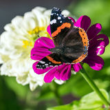 Roter Admiral u. x28; Vanessa-atalanta& x29; Schmetterling auf Zinnia elegans flowe Stockfoto
