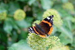 Roter Admiral Vanessa atalanta Schmetterling auf Efeu flowerheads Lizenzfreie Stockfotos