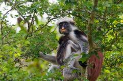 Roter Affe mit Welpen Lizenzfreie Stockbilder