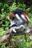 Roter Affe - Mutter und Sohn Stockfoto