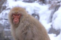 Roter Affe am Schneeaffepark im Japan Lizenzfreies Stockfoto