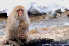 Roter Affe am Schneeaffepark im Japan Lizenzfreies Stockbild