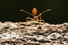 Roter Ameisenstand auf dem hölzernen Blick des Baums aufnahmebereit, zum des Feindes zu kämpfen Lizenzfreie Stockbilder