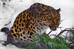 Roter Amur-Leopard zerfrisst einen Tannenzweig auf einem weißen schneebedeckten Hintergrund lizenzfreies stockfoto