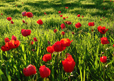 Roter Anemonen-Feld-Winter-blühender Makroschuß im grünen Gras Fie Stockfotos