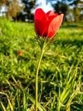 Roter Anemonen-Feld-Winter-blühender Makroschuß im grünen Gras Fie Lizenzfreies Stockfoto