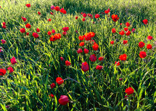 Roter Anemonen-Feld-Winter-blühender Makroschuß im grünen Gras Fie Stockfoto