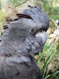 Roter angebundener Cockatoo Lizenzfreies Stockbild