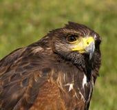 Roter angebundener Falke Stockfotografie