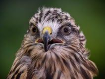 Roter angebundener Falke Lizenzfreie Stockfotografie