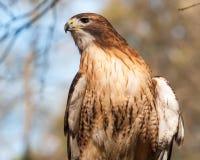 Roter angebundener Falke Stockbild