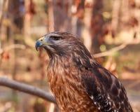 Roter angebundener Falke Lizenzfreies Stockbild