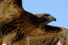 Roter angebundener Falke Lizenzfreies Stockfoto