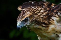Roter angebundener Falke, der für die Landung hereinkommt lizenzfreies stockbild