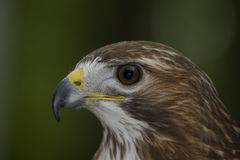 Roter angebundener Falke II Lizenzfreie Stockfotografie