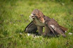 Roter angebundener Falke mit Opfer Lizenzfreies Stockfoto
