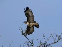 Roter angebundener Falke nimmt Flug Lizenzfreie Stockfotos