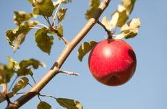 Roter Apfel auf Baum Lizenzfreies Stockfoto