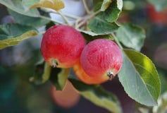 Roter Apfel auf einem Baum Stockfoto