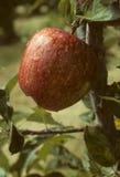 Roter Apfel auf einem Baum Stockfotografie
