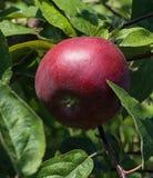 Roter Apfel auf einer Niederlassung im Garten Stockfoto