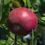 Roter Apfel auf einer Niederlassung im Garten Stockfotos