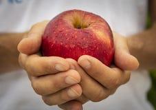 Roter Apfel in den Händen des Landwirts Stockbilder