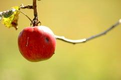 Roter Apfel, der vom Baum hängt.   Stockfotos