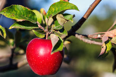 Roter Apfel mit den Leben auf Apfelbaumast im reifen saftigen Apfel der Herbsternte auf dem Apfelbaum im Fall Lizenzfreies Stockbild