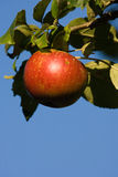 Roter Apple auf Baum Lizenzfreies Stockfoto
