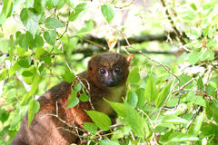 Roter aufgeblähter Lemur Stockfotografie