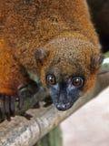 Roter aufgeblähter Lemur Stockfoto