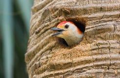 Roter aufgeblähter Specht, der am Nest zwitschert Stockfotos
