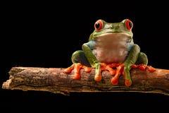 Roter Augen-Baum-Frosch stockfoto